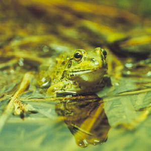 生態 カエル